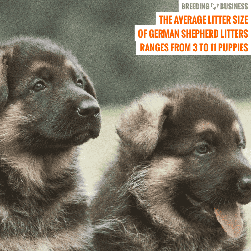 german shepherd average litter size