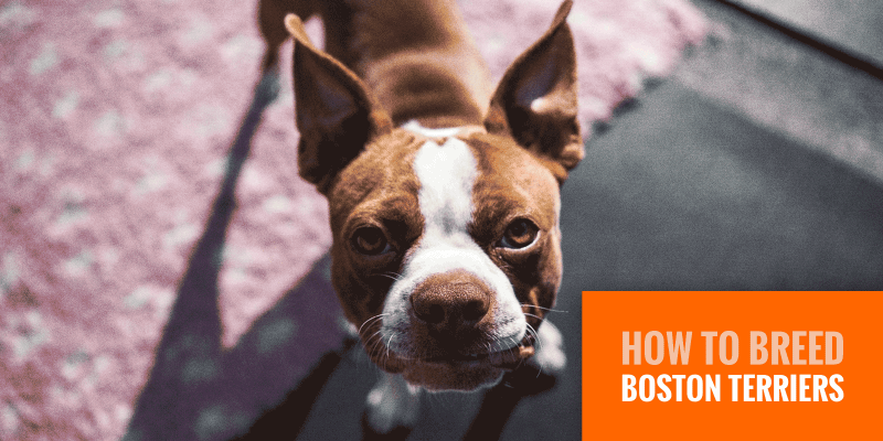 How To Breed Boston Terriers