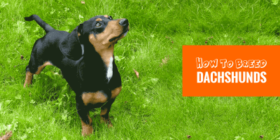 How To Breed Dachshunds — Background, Breeding Practices, Litter Size…