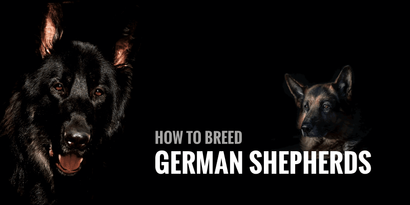 How To Breed German Shepherds