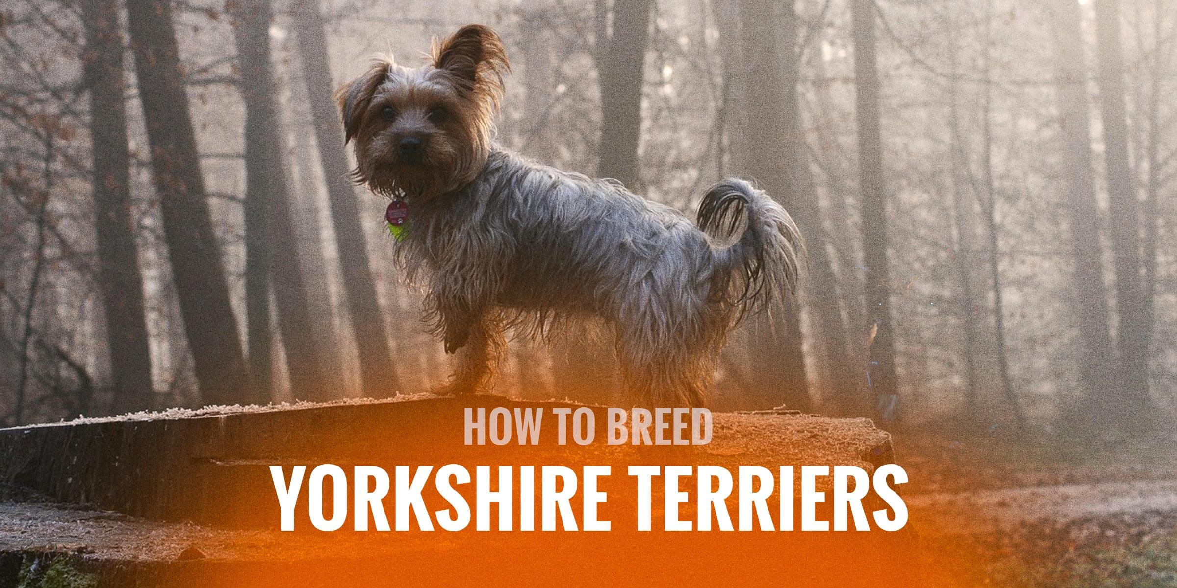 How To Breed Yorkshire Terriers