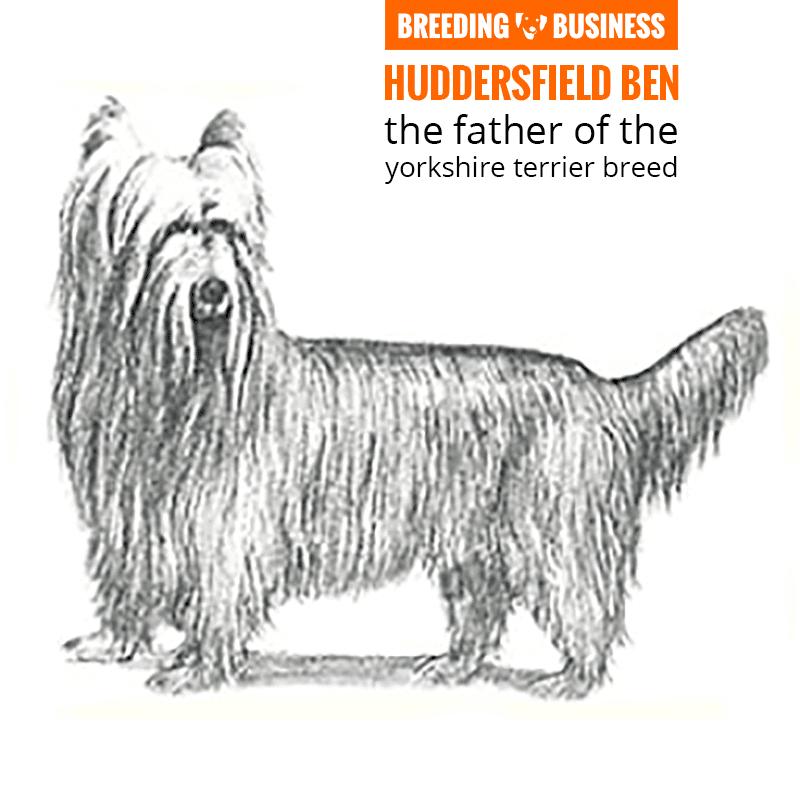 huddersfield ben yorkshire terrier stud
