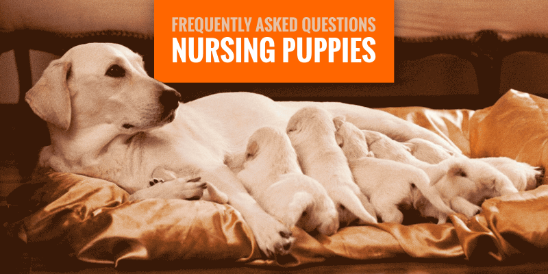 Nursing Puppies Most Frequently Asked Questions