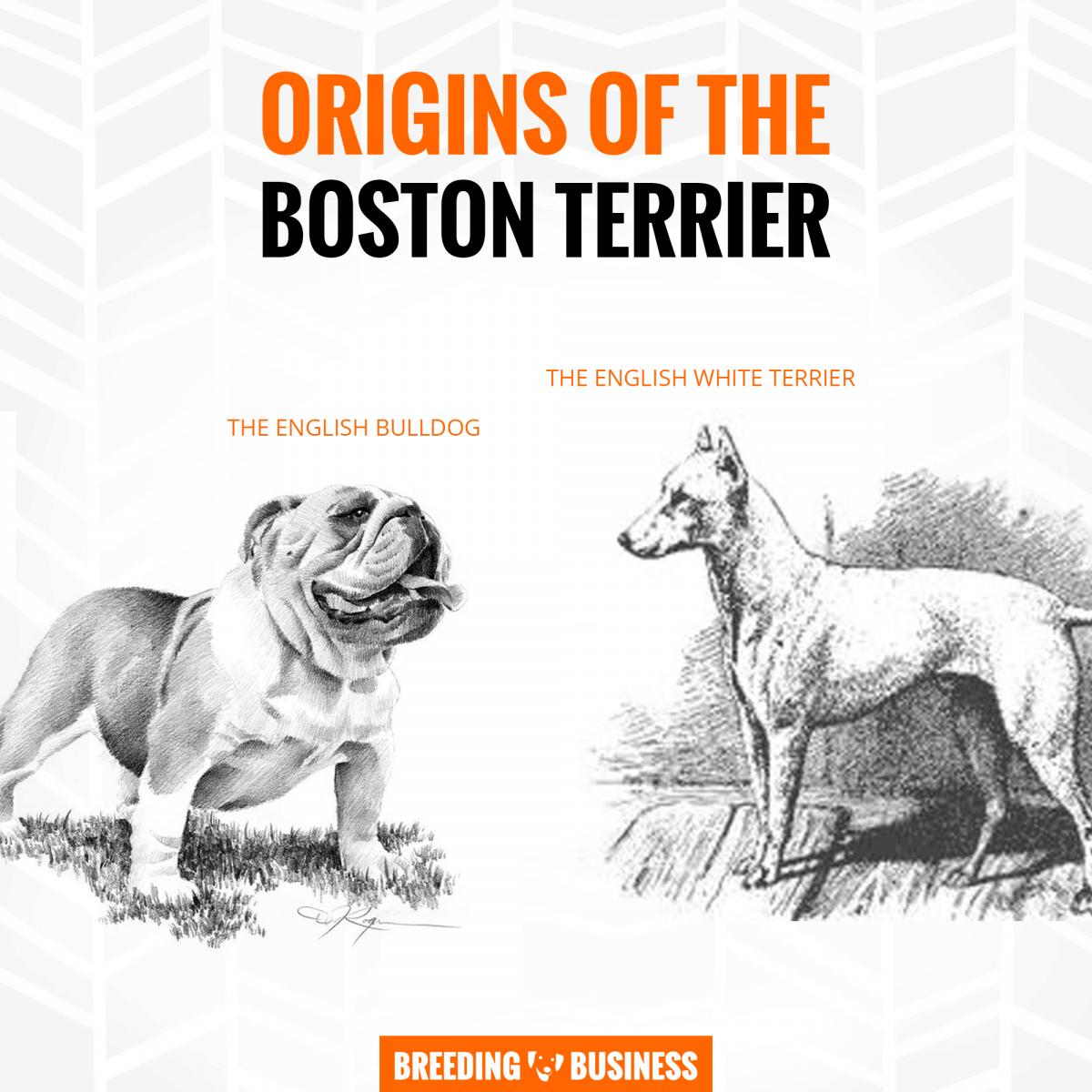 origins of boston terrier breeding