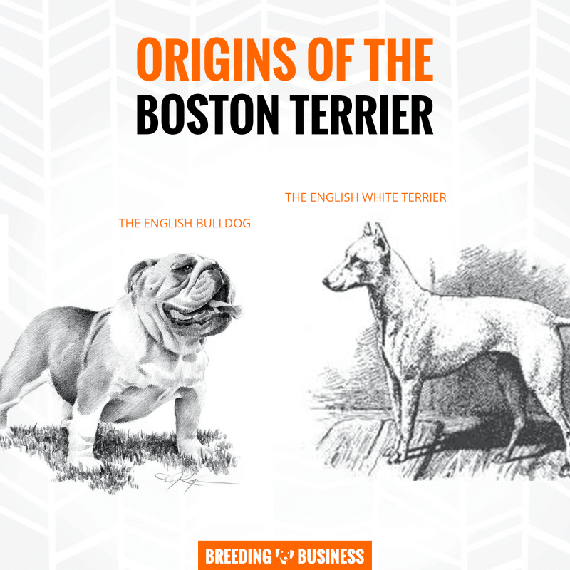 origins of boston terrier breeding