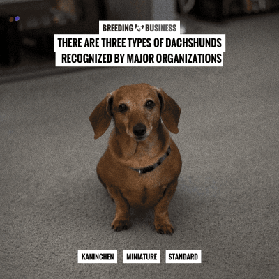 How To Breed Dachshunds Free Guide To Breeding Dachshunds