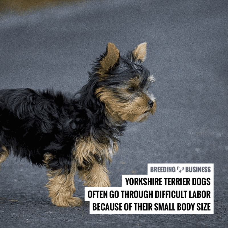 How To Breed Yorkshire Terriers — Mating & Pregnancy in Yorkie Breeding