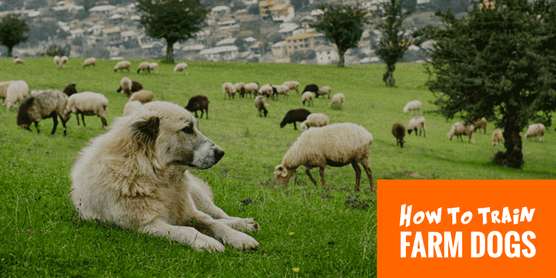 training farm dogs