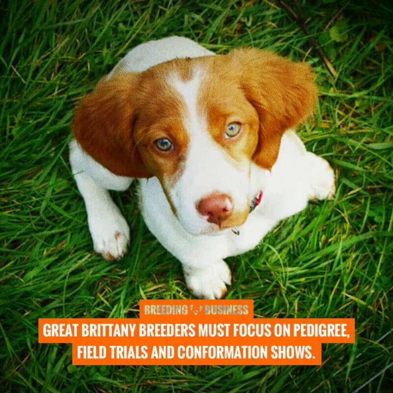 breeding brittany dogs