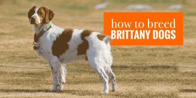 How To Breed Brittany Spaniels — Health, Pregnancy, Nursing & Training