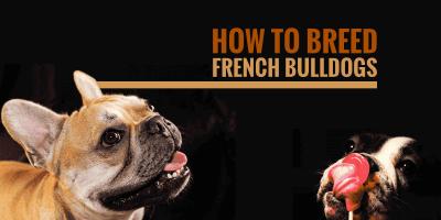 breeding french bulldogs