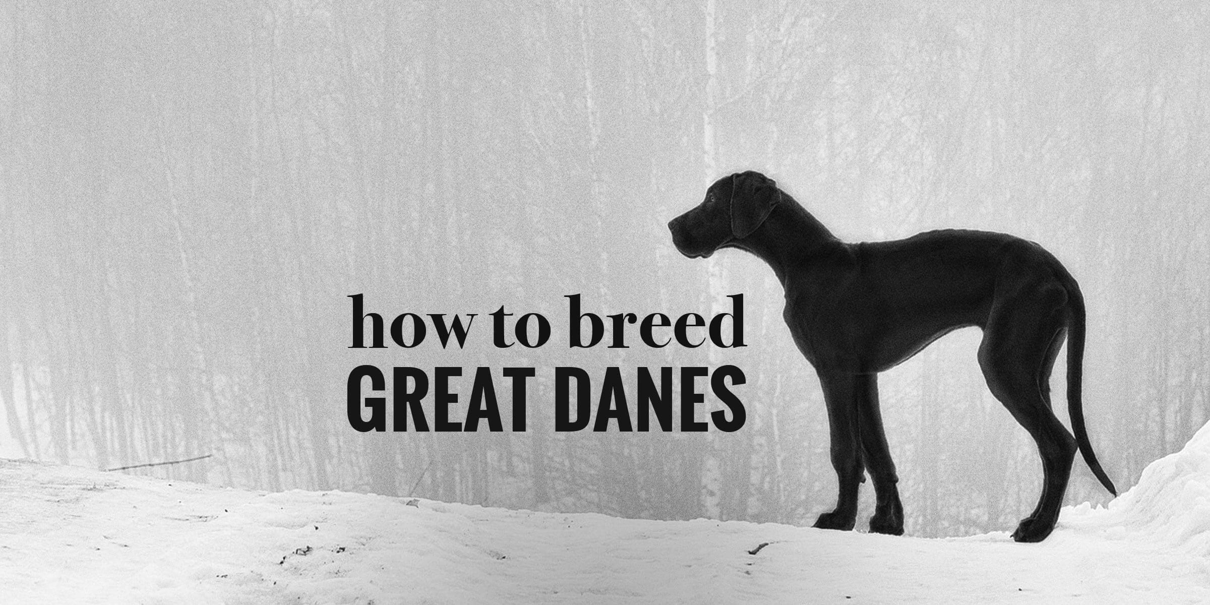 How To Breed Great Danes
