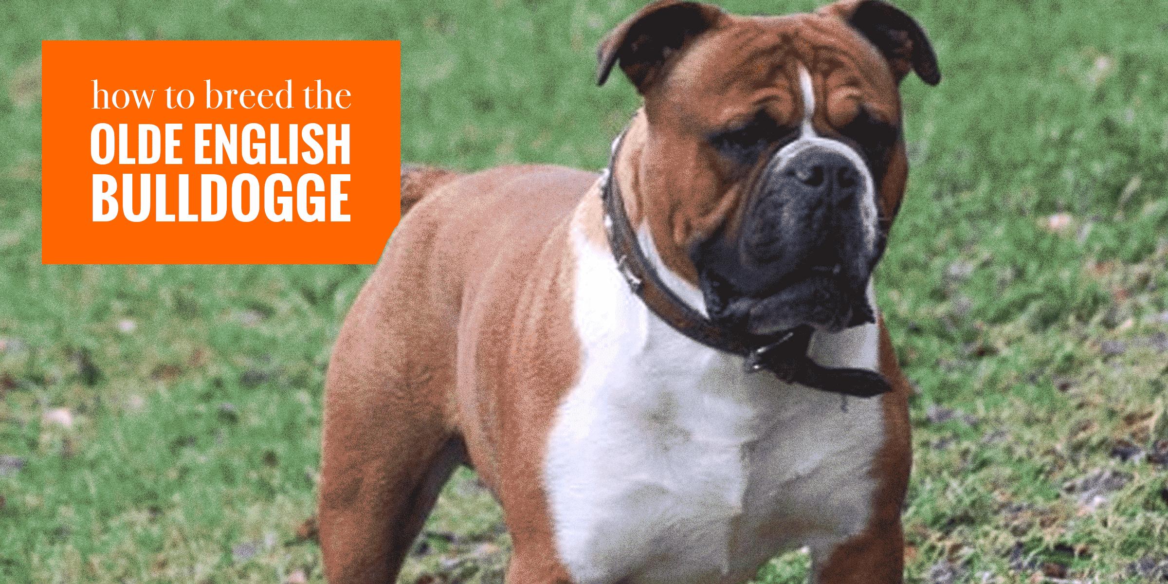 Breeding Olde English Bulldogge Dogs — Health, Litter Management...