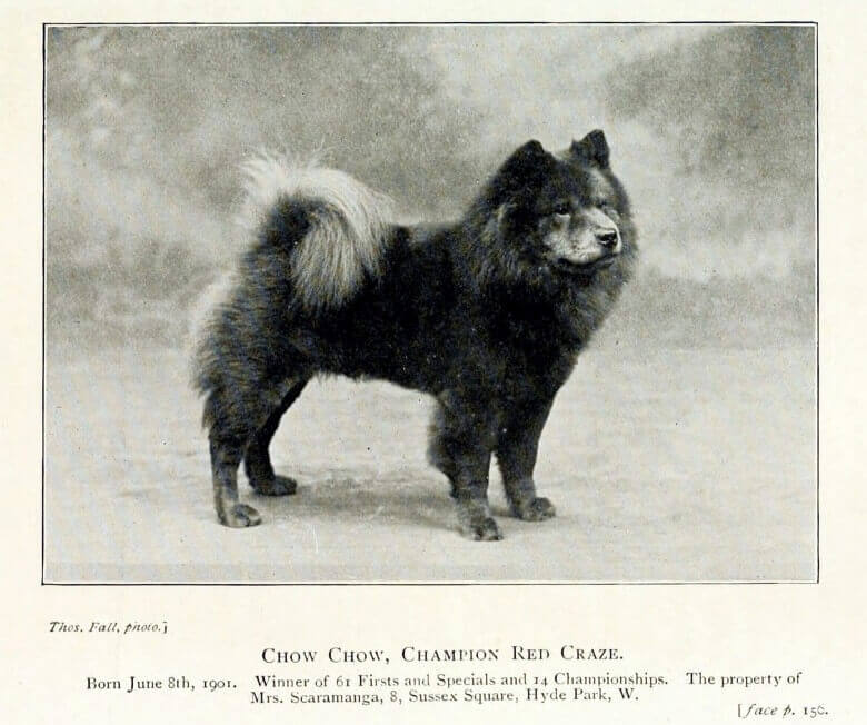 old chow chow in 1901 champion red craze