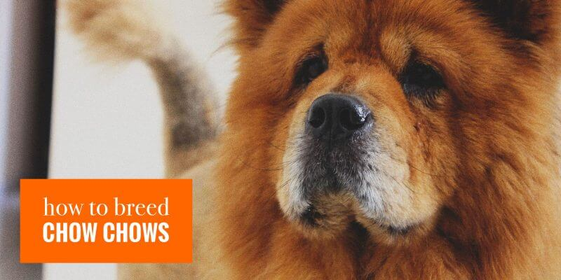 How To Breed Chow Chows Litter Size Mating Health History