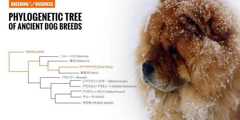 phylogenetic tree chow chow breed