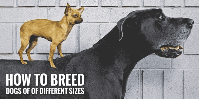 How to Breed Dogs of Different Sizes?