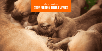 when do dogs stop feeding their puppies