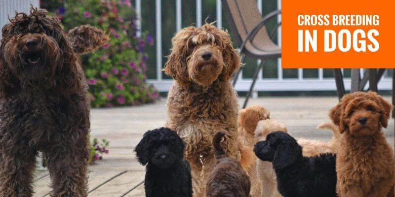 cross breeding in dogs