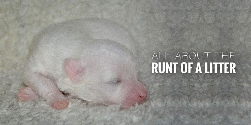 runt of a litter