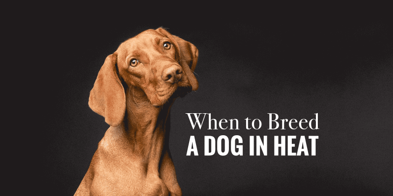 When to Mate a Female Dog in Heat?