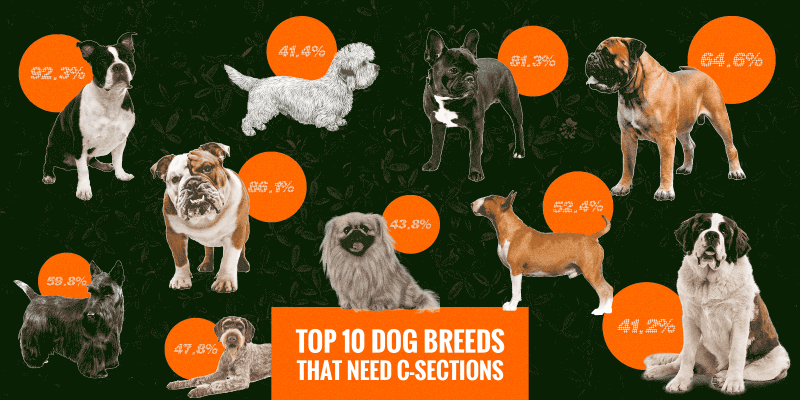 dog breeds with cesarean sections