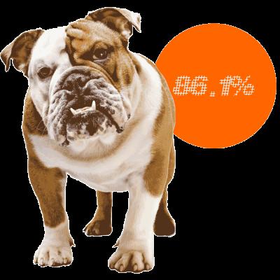 English Bulldog c-sections