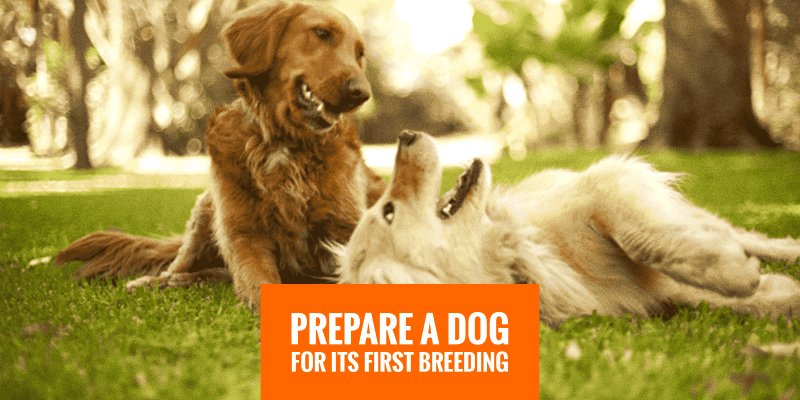 prepare dog for first mating