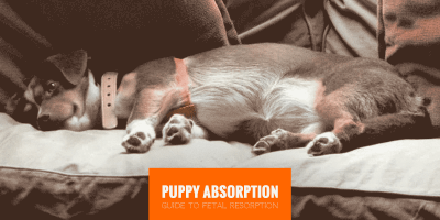 Puppy Absorption (Canine Fetal Resorption)