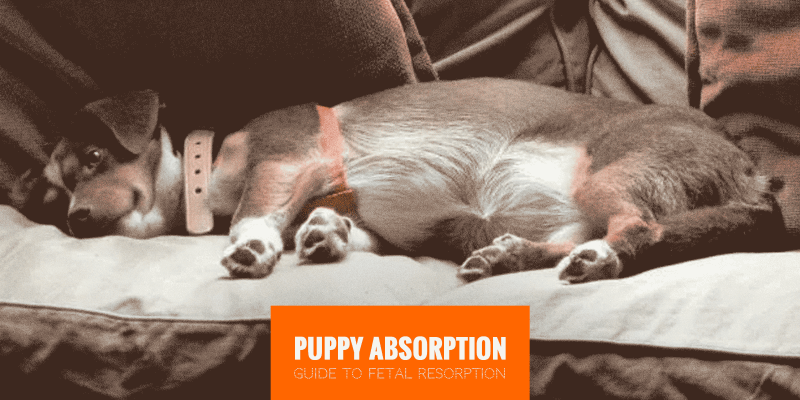 Guide to Puppy Absorption (Canine Fetal Resorption)