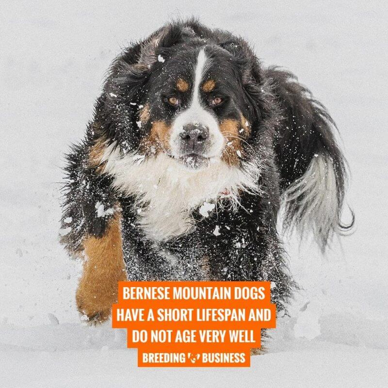 bernese mountain dogs lifespan