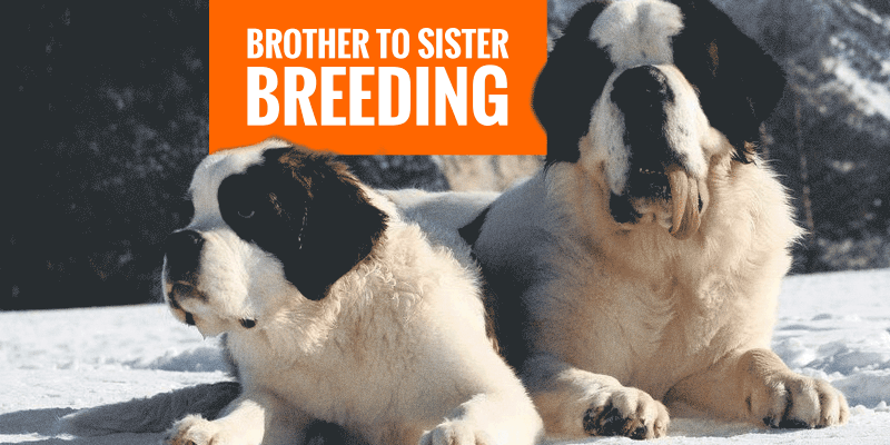 breeding brother and sister dogs