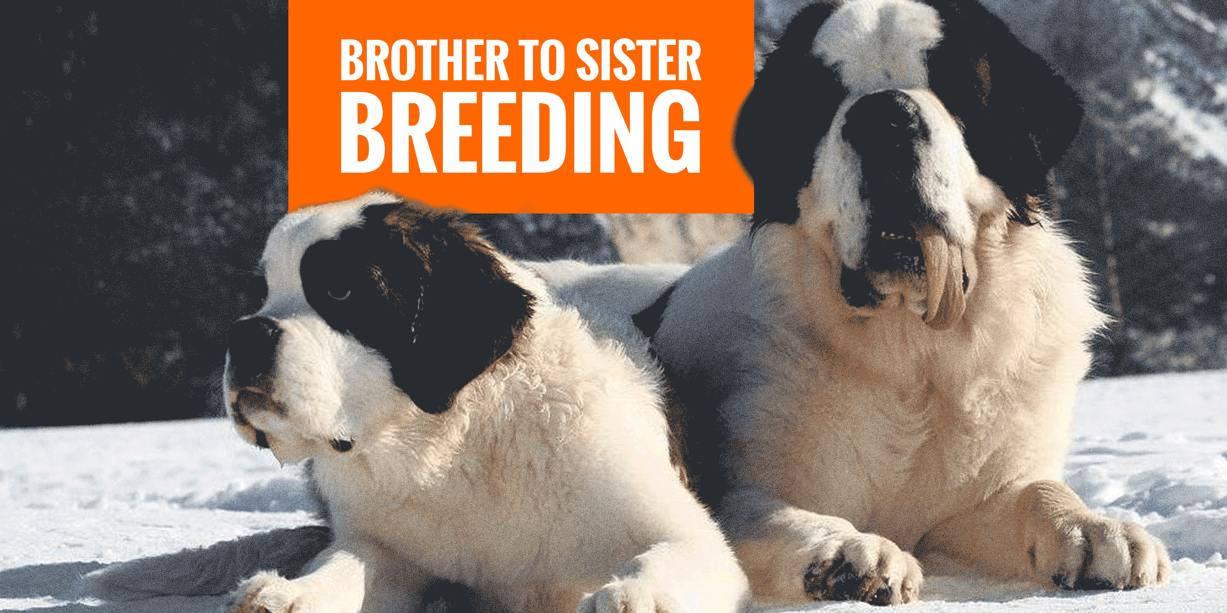 Breeding Brother And Sister Dogs Dangers Benefits Legality