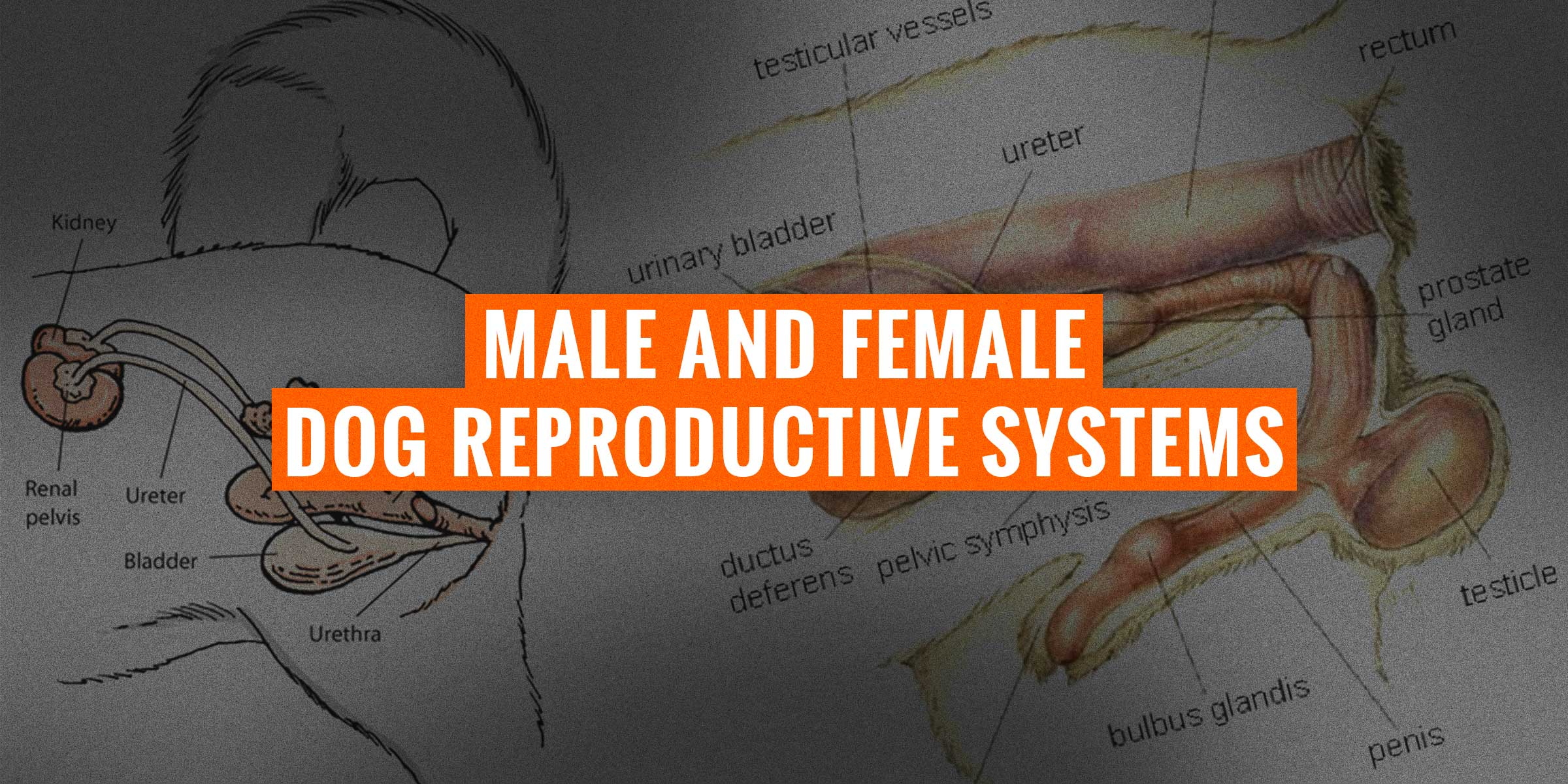 Male & Female Dog Reproductive Systems — Organs and Hormones