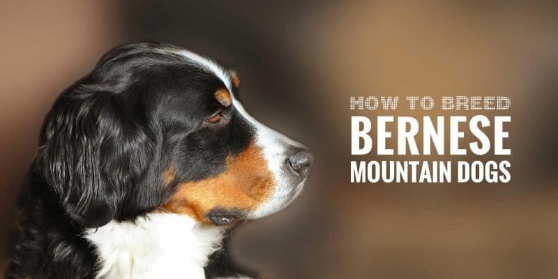 How To Breed Bernese Mountain Dogs Free Guide