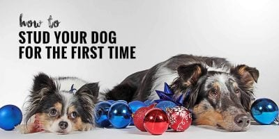 How to Stud Your Dog for the First Time