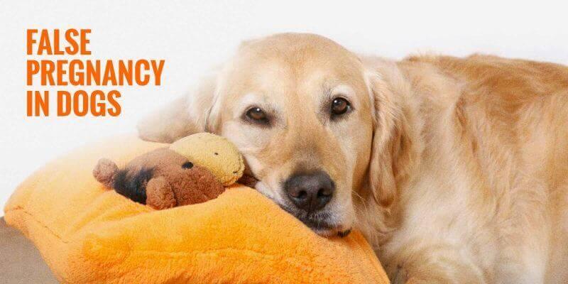 false pregnancies in dogs