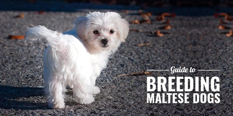 How To Breed Maltese Dogs