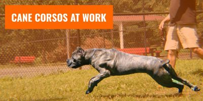 cane corso working dog