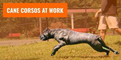 Cane Corsos at Work — K-9 Policing, Property Patrolling & More