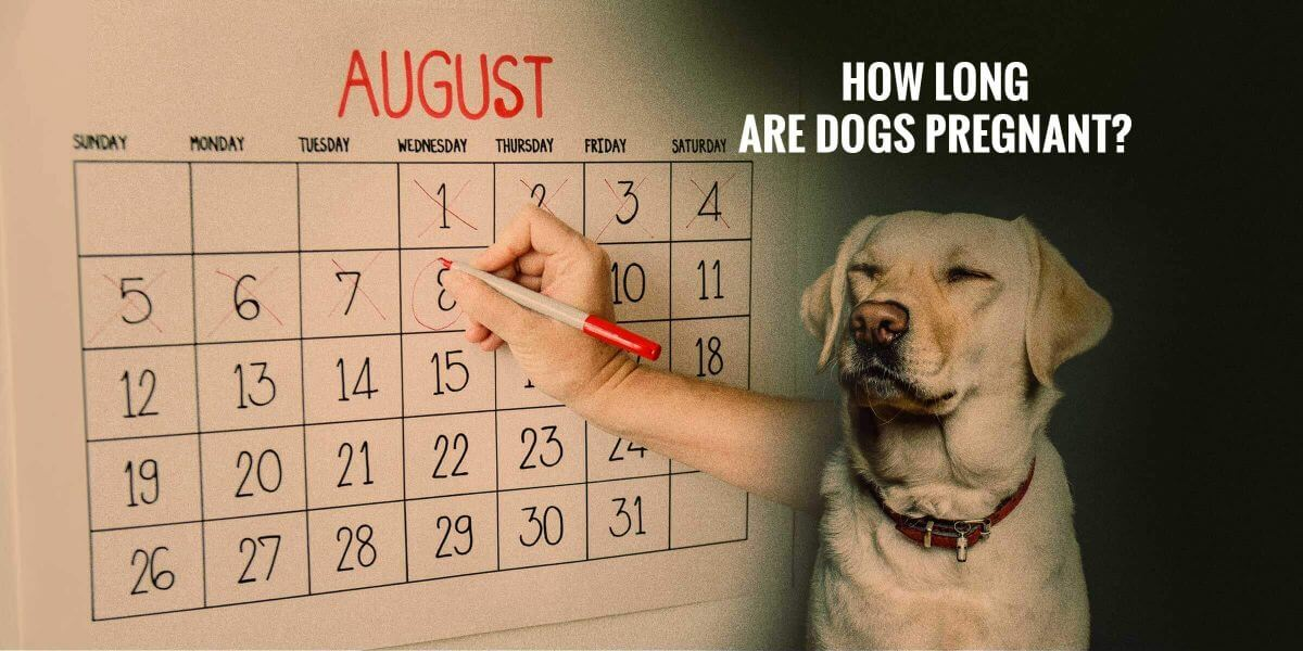how long are dogs pregnant   u2014 breeding business