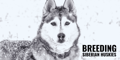 How to Breed Siberian Huskies