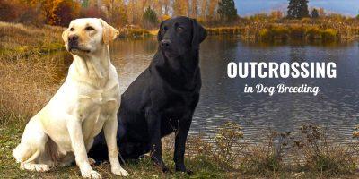 Outcrossing in Dog Breeding