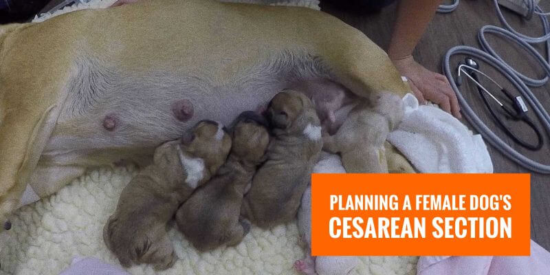 planning female dog cesarean section
