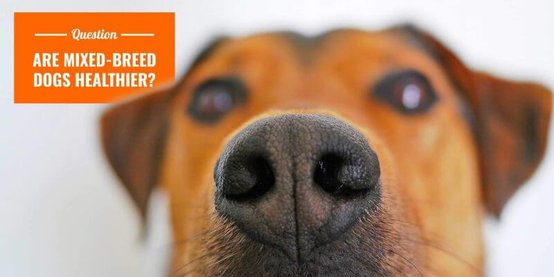 are mutts healthier dogs?