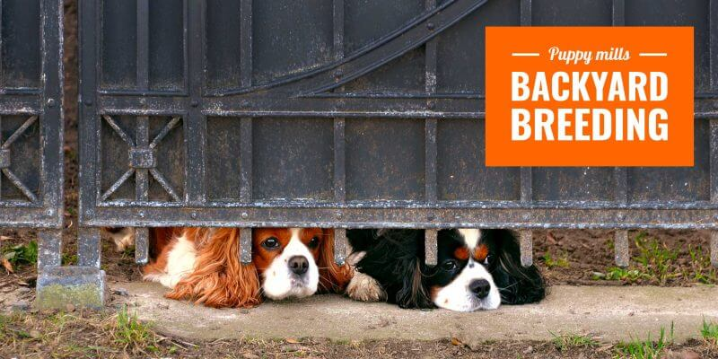 backyard dog breeding