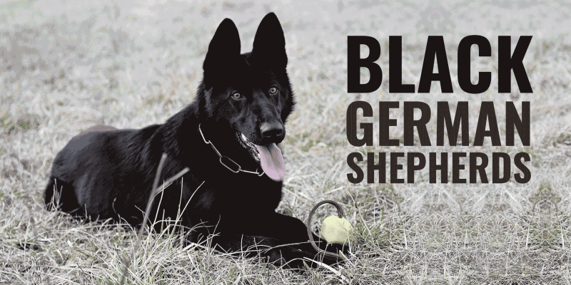 Black German Shepherds Genetics Prices Breeders Free Guide