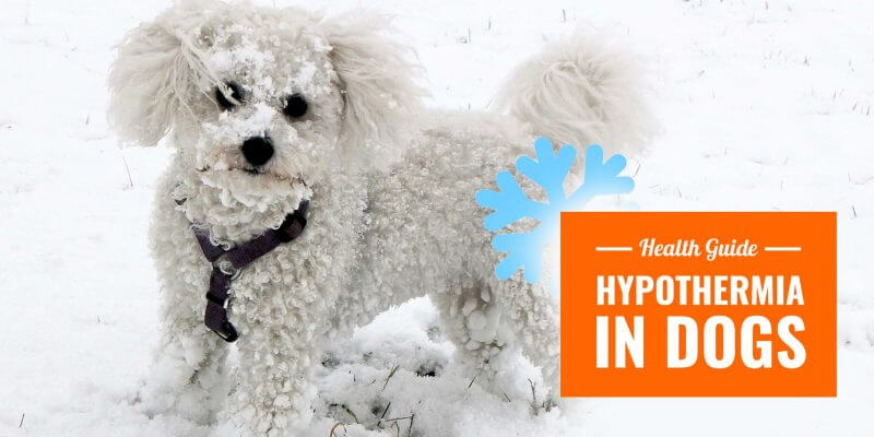 Hypothermia in Dogs — Causes, Symptoms & Treatments