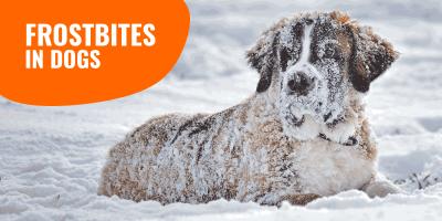 dog frostbites