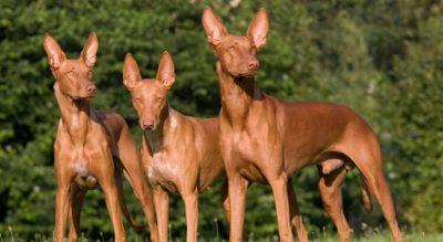 egyptian pharaoh hounds